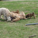 Wheatens at play 03